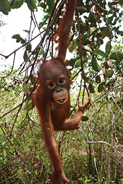 Infant orangutan eating